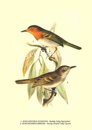 EUSCARTHMUS RUSSATUS - Ruddy Tody-Flycatcher, EUSCARTHMUS IMPIGER - Pearly-Vented Tody-Tyrant